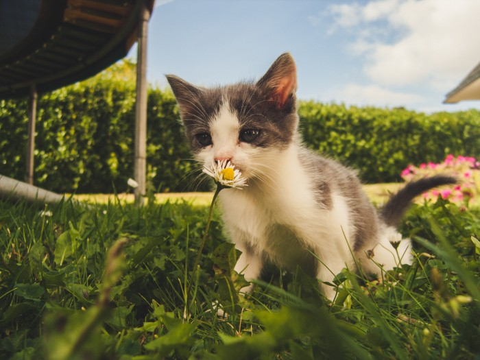 A kitten smelling a flower in the grass.